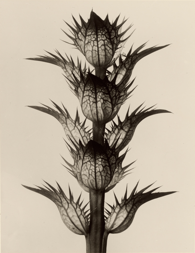Karl_Blossfeldt._Acanthus_mollis,_1928